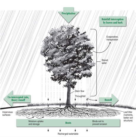 The role of a tree in controlling runoff. Courtesy of the Arbor Day Foundation, arborday.org